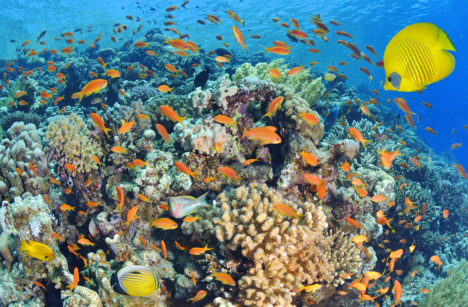 Egypte, mer Rouge, un récif corallien // Egypt, Red Sea, a coral reef
