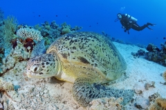 photo-sous-marine-plongee-mer-rouge-tortue
