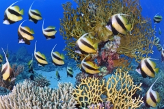 Egypte, mer Rouge, un banc de poissons-cochers (Heniochus intermedius) // Egypt, Red Sea, a school of bannerfish (Heniochus intermedius)